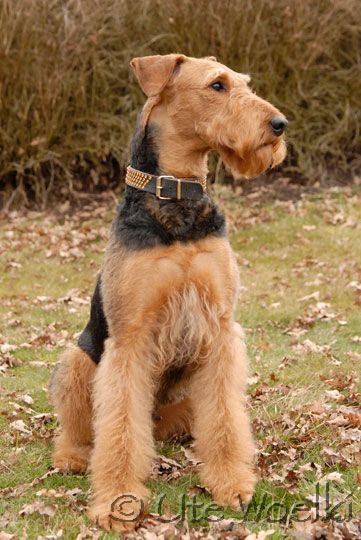 An airedale stole my heart ♥