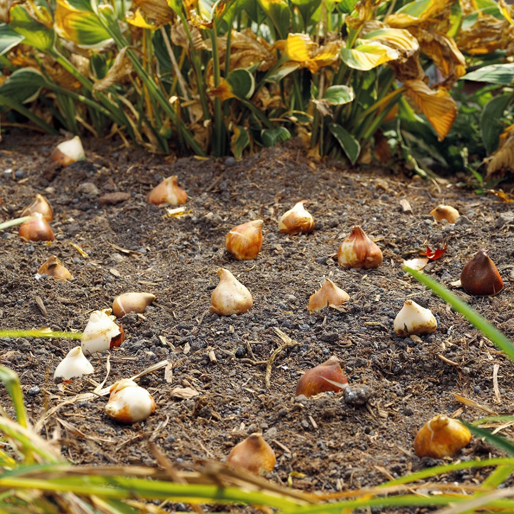 Slide 11 Design Idea Plant In Groups In 2020 Planting Bulbs Bulb Flowers Perennial Bulbs
