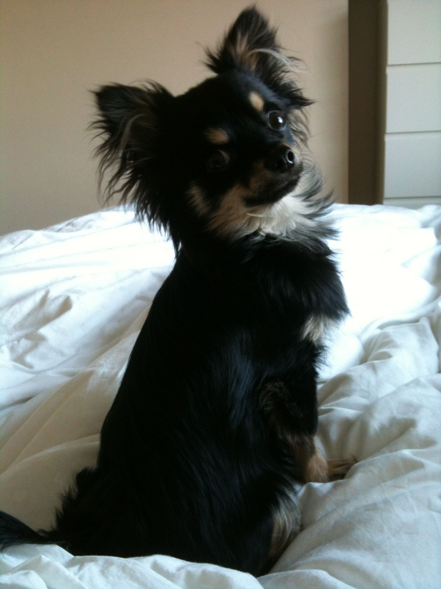 My 9 Month Old Long Haired Chihuahua Ted He Makes Me Smile Every