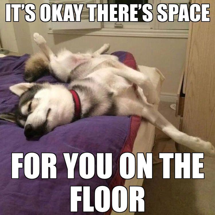 Do U Have A Bed Hog Dog Quotes Funny Husky Funny Funny Husky Meme