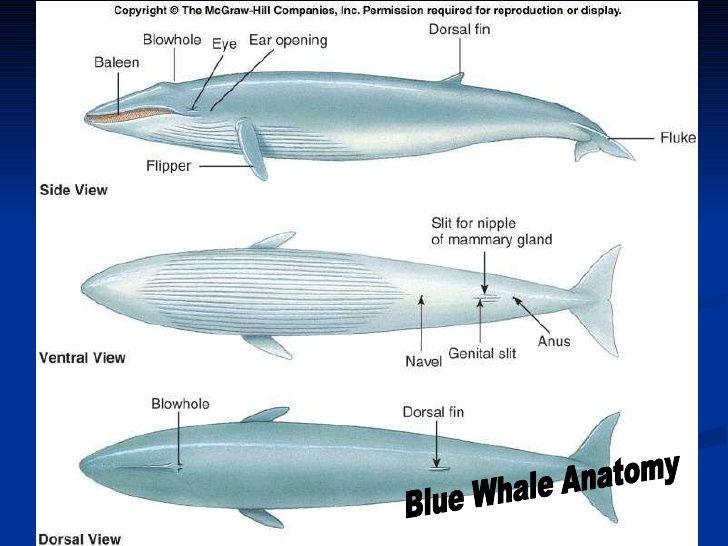 marine-mammals-36-728.jpg (728×546) | Anatomy Study-Marine Mammals ...