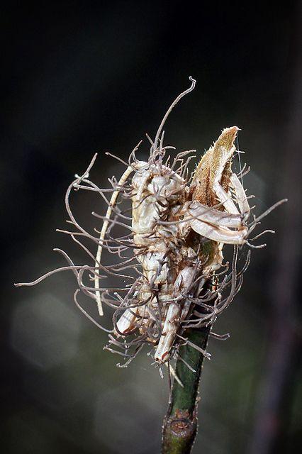 kordicepsz parazita)