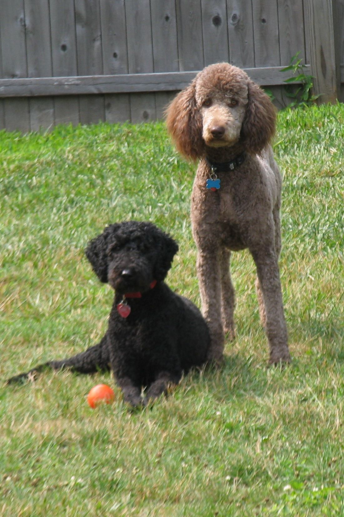 File Standard Poodles Black And Brown Females Jpg Wikipedia The