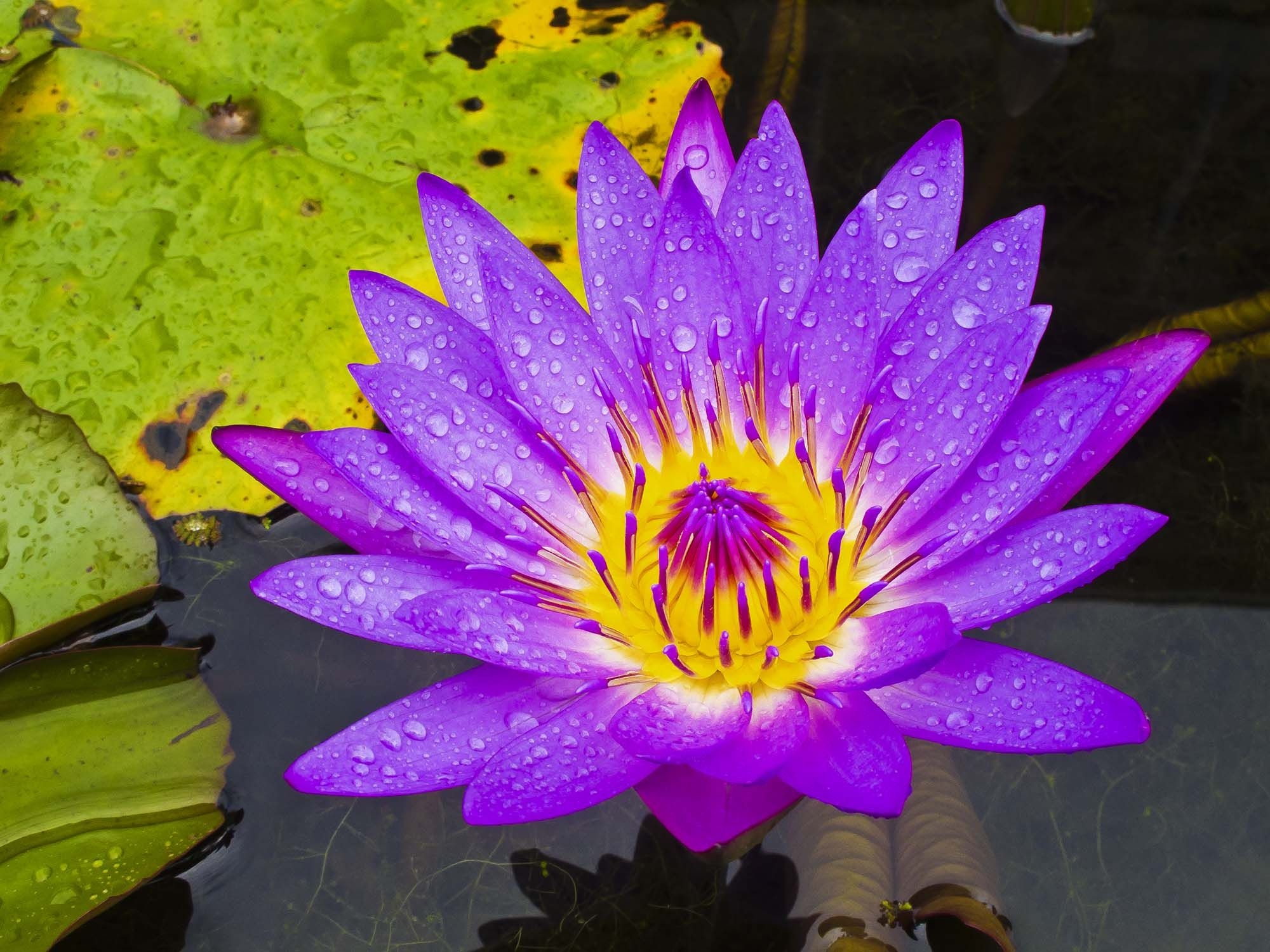 I want a water lily tattooed for each of my girls both july babys for my water lily tattoo july birth month flower izmirmasajfo Gallery