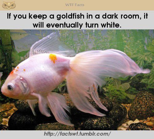 Wtf Facts Official Tumblr Page Goldfish Veiltail Goldfish Best Aquarium Filter