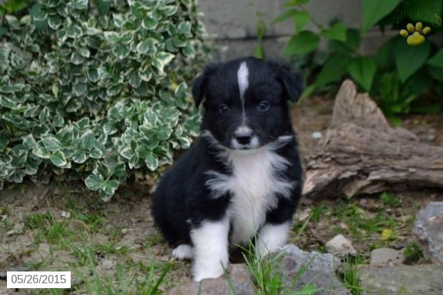 Australian Shepherd Puppy For Sale In Ohio Buckeyepuppies