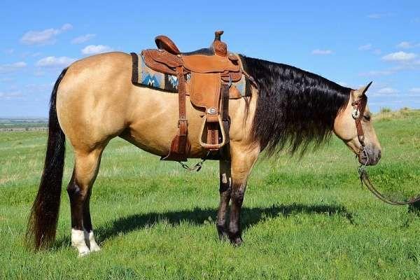 Beautiful Buckskin Mare Finished Reiner Ranch Broke Super Gentle