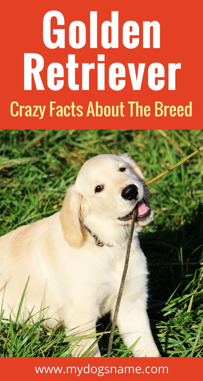 Golden Retriever Articles Breed Info More Pinterest Dogs