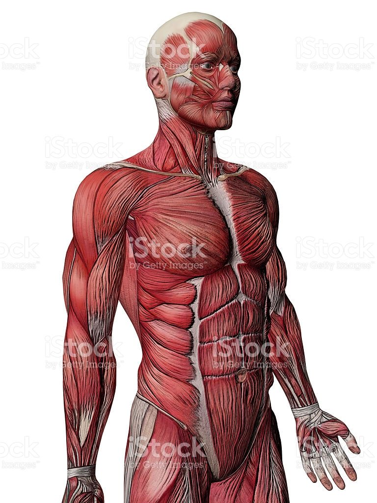 High Quality 3d Image Of The Muscular System Anatomy For Artists