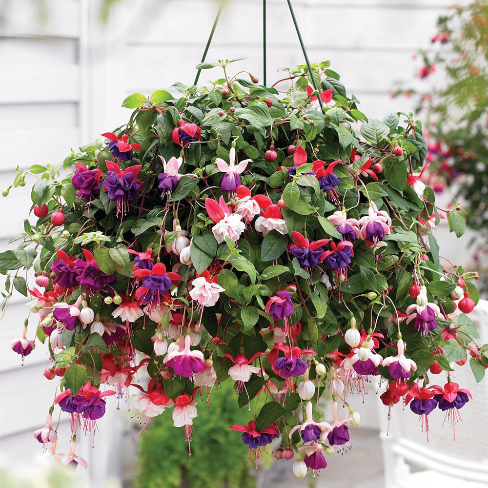 fuchsia 39 trailing mix 39 pre planted hanging basket hanging basket plants van meuwen garden. Black Bedroom Furniture Sets. Home Design Ideas