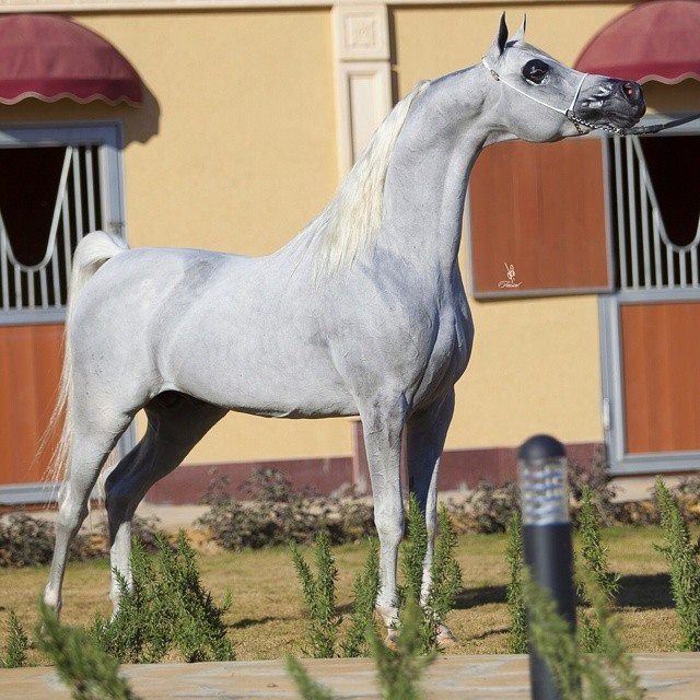 I Swear You Would Think I Was A Huge Arab Lover Though I Prefer Quarter Horses And The Like But Dang Arabs Are So Photogenic Wh York 2006 Grey Stallion Sire