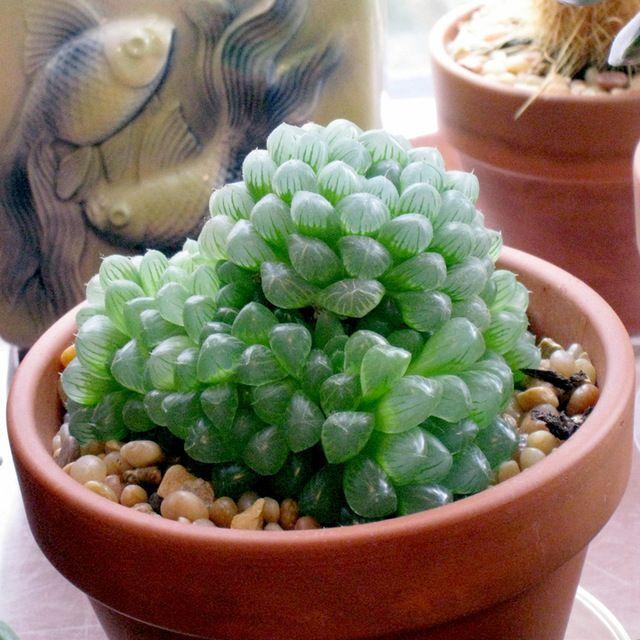 Haworthia cactus Succulent plants potted Plants Home Garden Bonsai Garden Decor