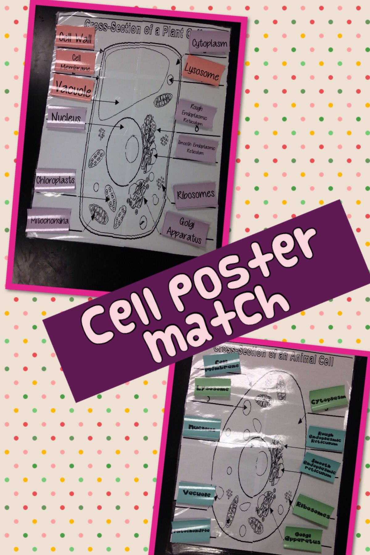 Animal And Plant Cell Poster Matching Game