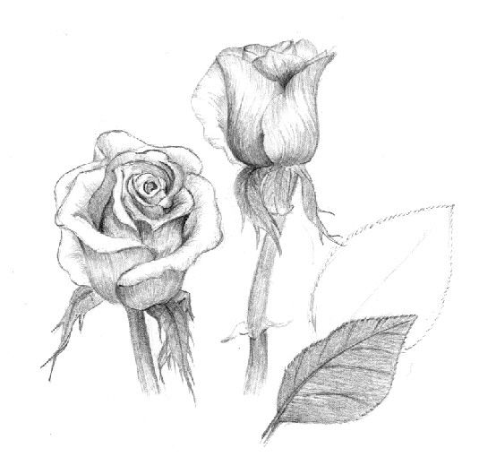 How To Draw Roses Using Charcoal | Charcoal, Pencil, Colored Pencil, Marker, Wax Crayon, Ballpoint Pen