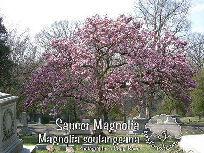 Photo Saucer Magnolia Tree In Bloom Magnolia Trees Saucer