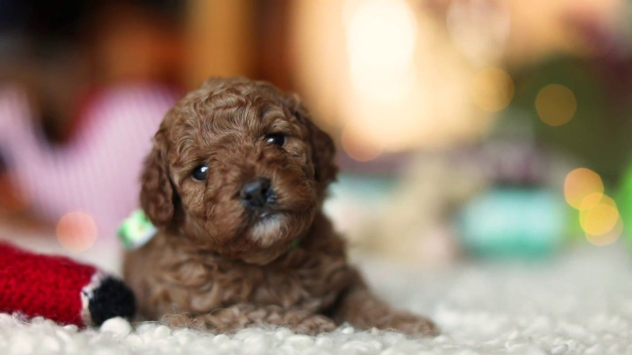 Cavoodle Puppy Ruby Red Cavapoo Girl 01 4 Weeks Old Cavapoo Puppies Puppies For Sale