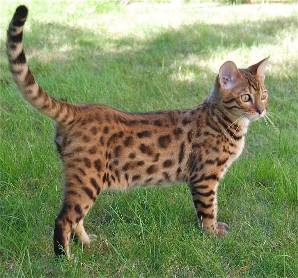 Spottedpaw/ Female/ Breed Bengal/ Relationship None