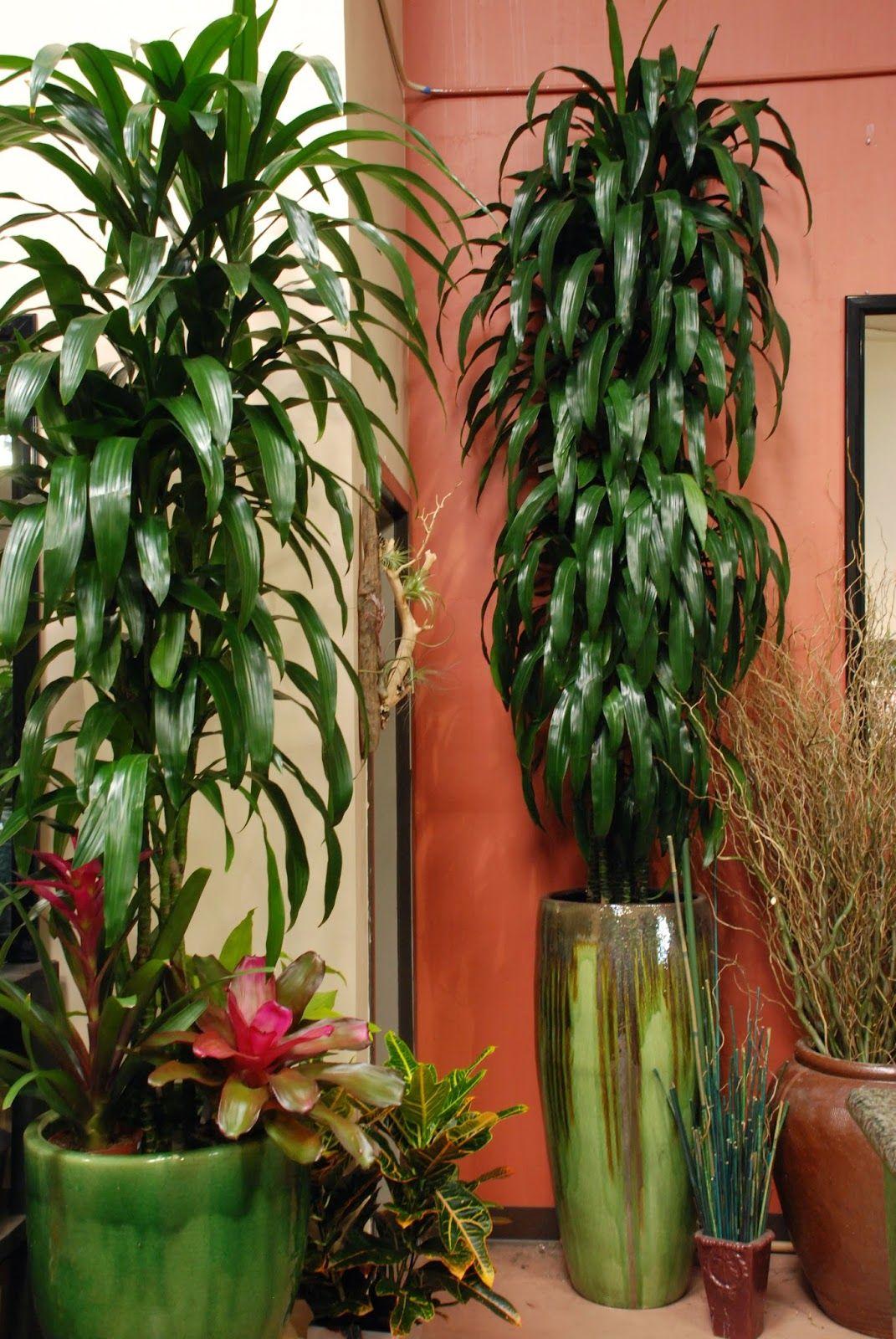 Dracaena craig house plant care dracaena plant