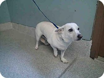 Tallahassee Fl Cardigan Welsh Corgi Chihuahua Mix Meet Batley A Dog For Adoption Http Www Adoptapet Com Pet 180309 Kitten Adoption Welsh Corgi Mix Pets