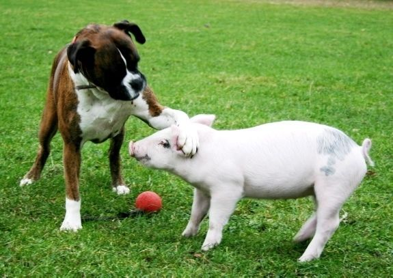 This pup letting this piggie know that it's OK he lost the game; he put in an all-star effort.