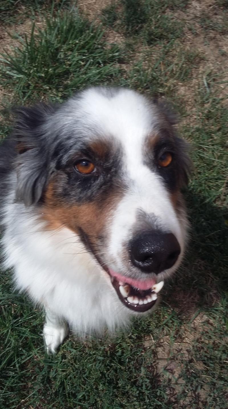 Adopt Sadie On Petfinder Australian Shepherd Dogs Australian Shepherd Pets
