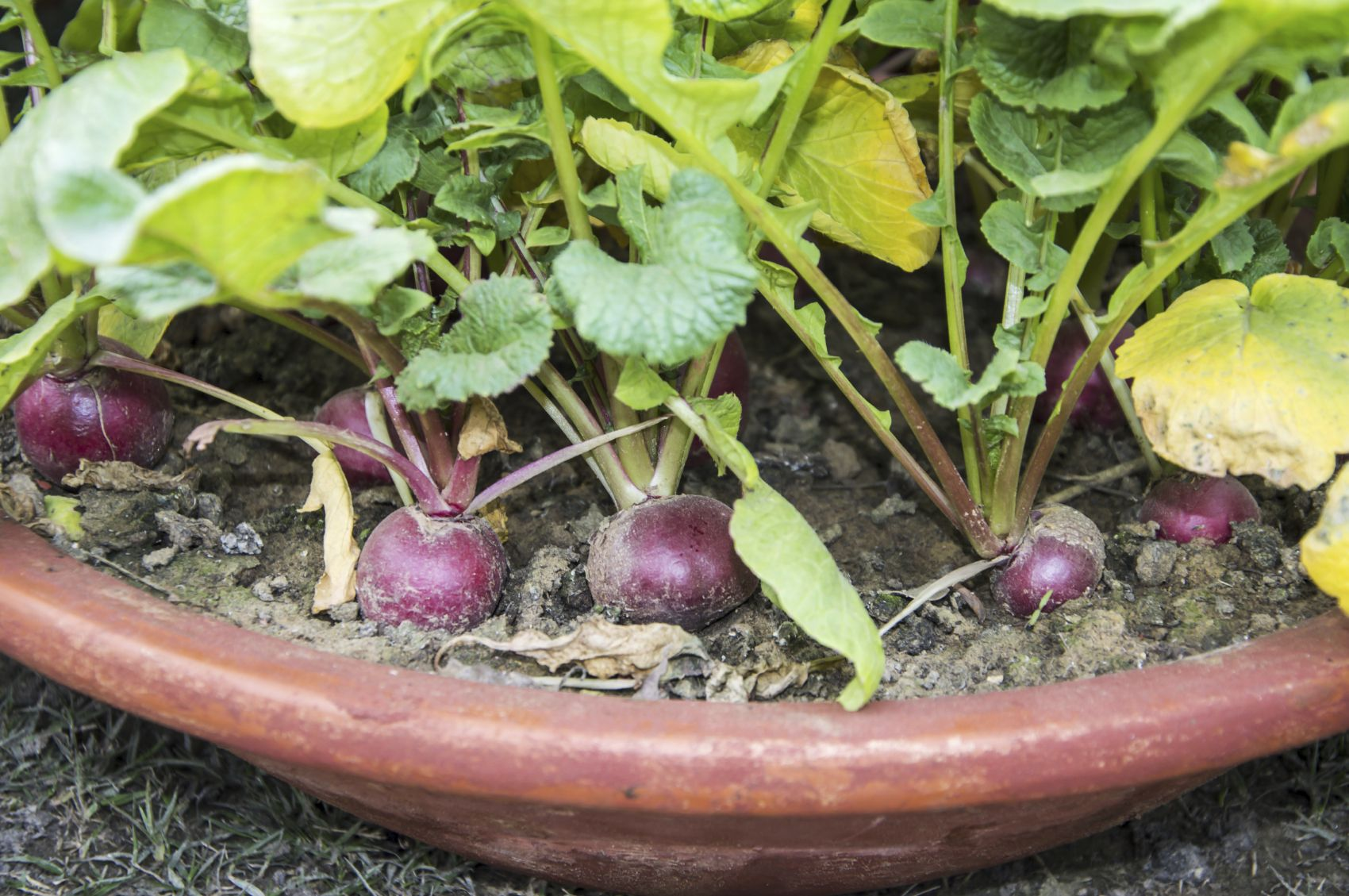 Yellow radish leaves are a sign that there is a radish growing problem. Why do radish leaves turn yellow and how can you treat a radish plant that has yellow leaves? This article has information that should help with that.
