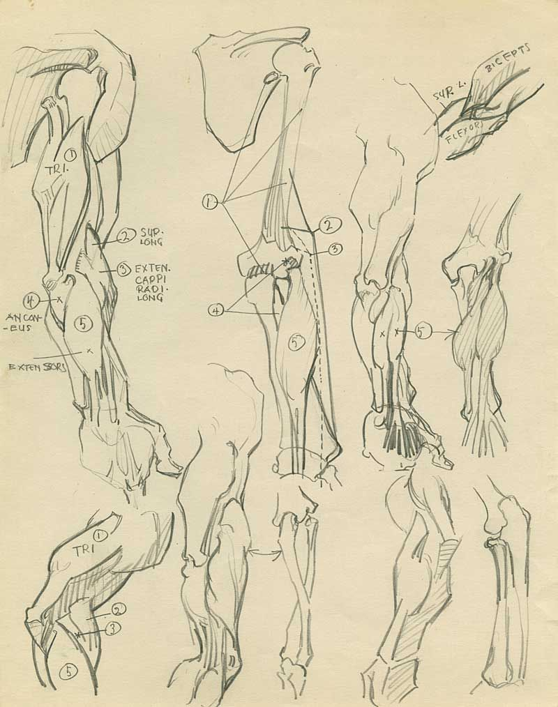 Natwick Anatomy Studies | Anatomy: Arm | Pinterest | Anatomy, Hand ...