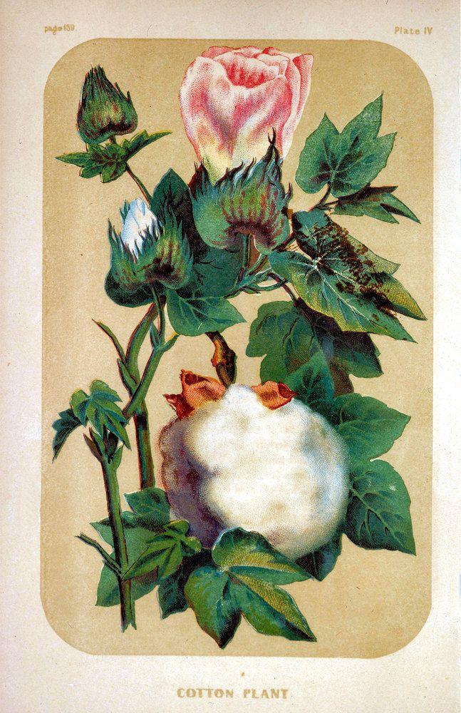 Cotton plant personals