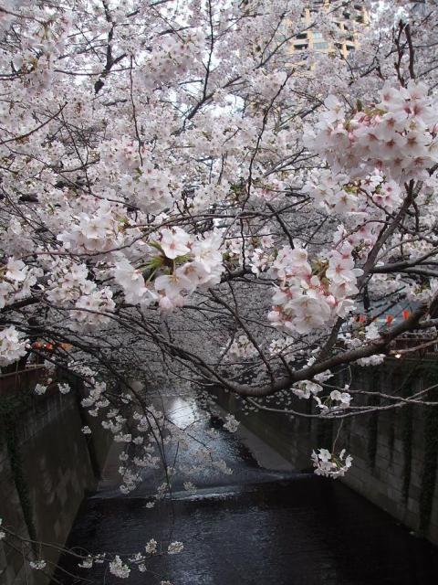 Cherry Tree Full Bloom Tokyo Japan Cherry Blooms Spring Flowering Trees Flowering Cherry Tree