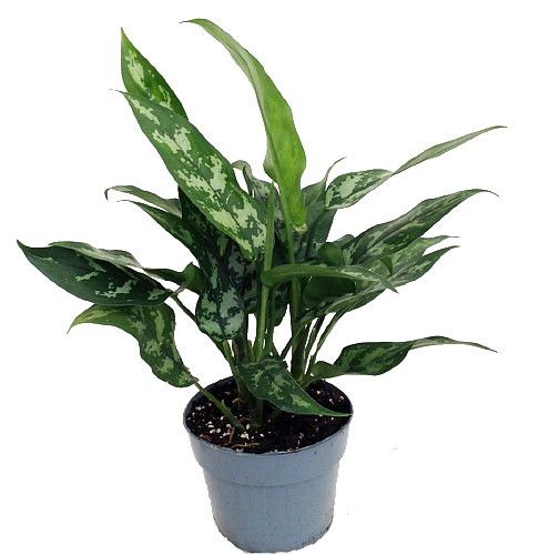 Maria Chinese Evergreen Plant Aglaonema Low Light 6 Pot