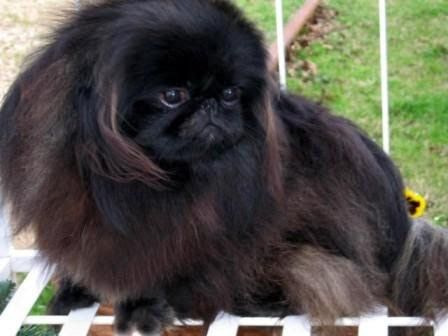 Show Pictures Of Pekingese Dogs