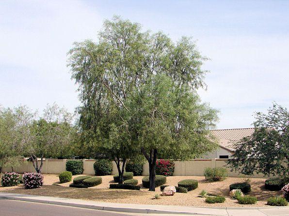 Willow Acacia Acacia Salicina Also Called Sallow Wattle