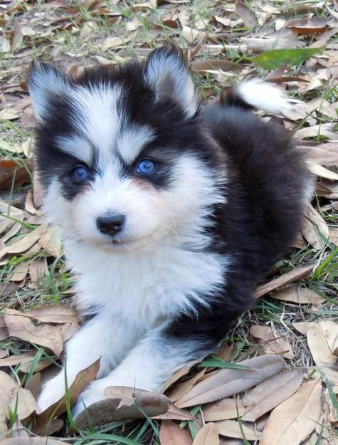 "This is a Pomsky! And he is cute but I'm slightly afraid of this pup.. It looks like ""the others"" for those of you who understand game of thrones.. Winter is Coming! Lol"