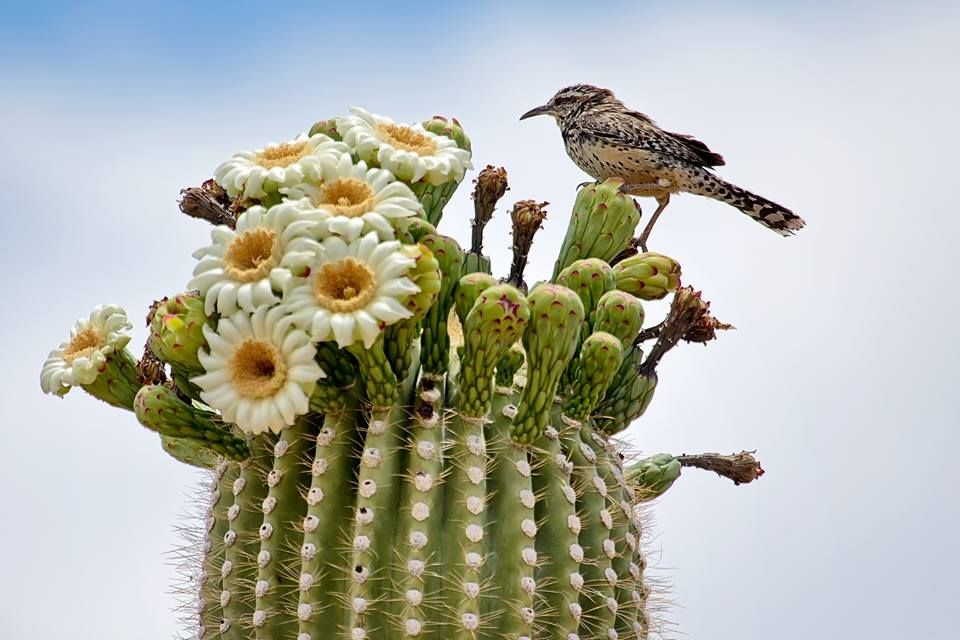 arizona state flower and bird inspiration