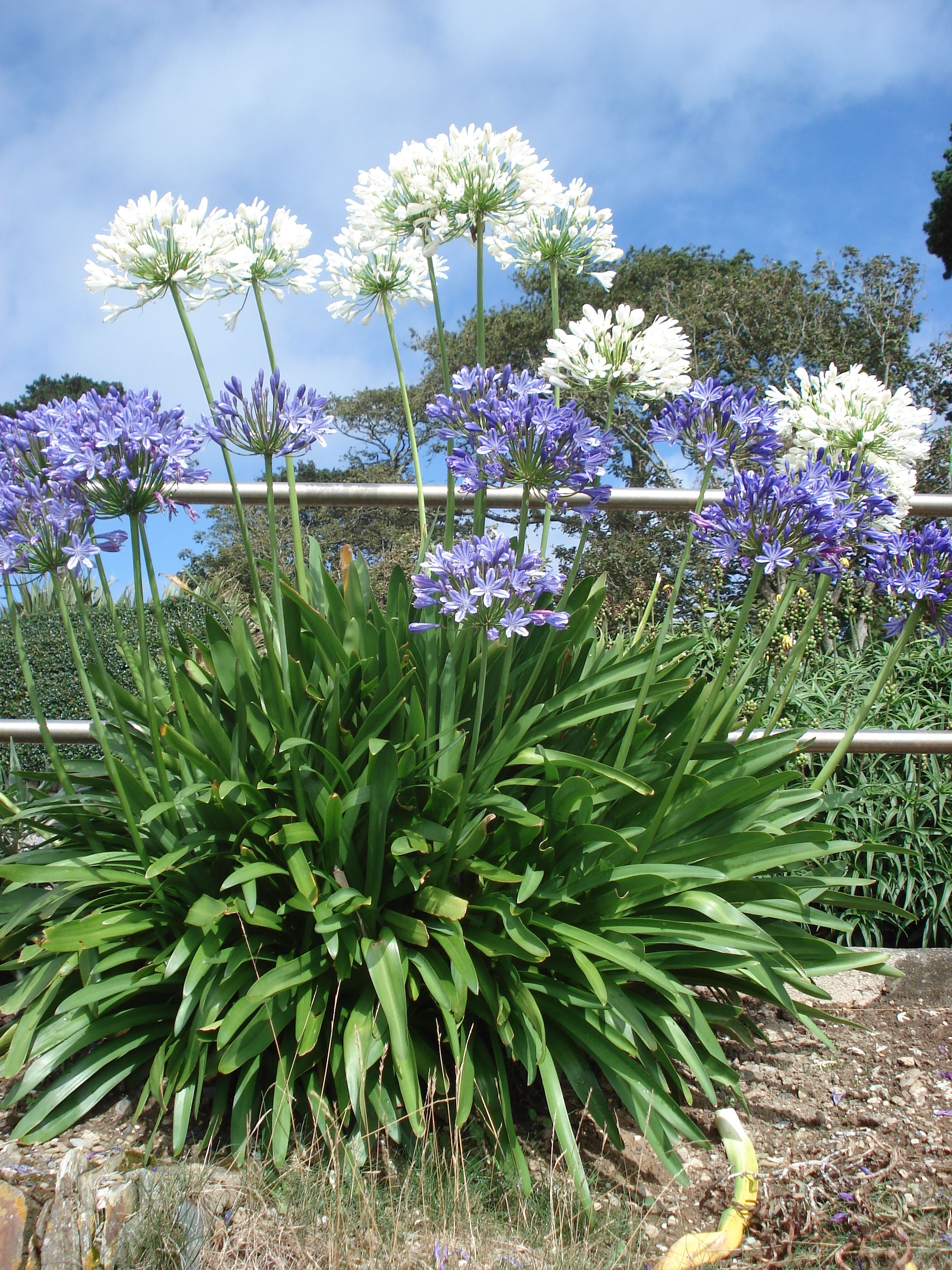 Summer Agapanthus In Full Bloom In White And Blue Agapanthus Flower Stencil Bloom