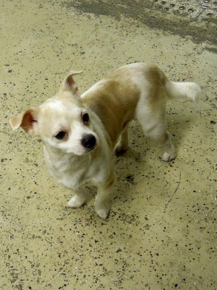 Adopted Chico Is A Male Chihuahua Who Is A Little Shy But Friendly Great With Cats And Ok With Most Other Dogs Although A Bit Fearful Of Them He I The Help
