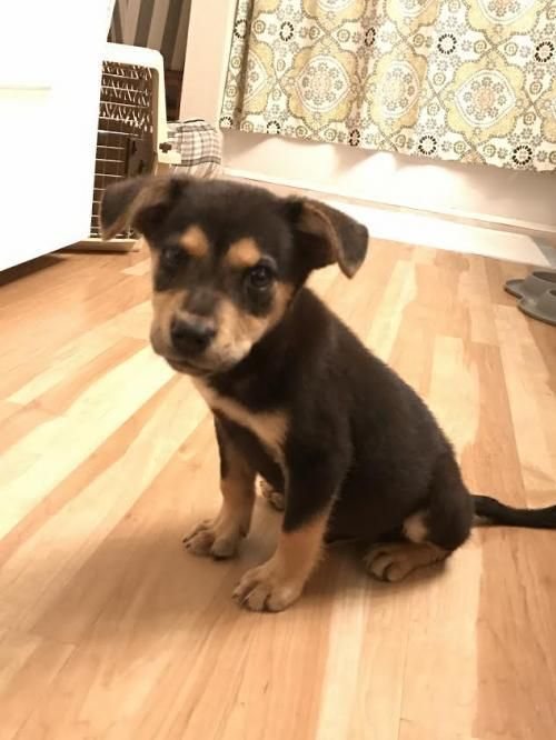 Adopt Cuervo On Rottweiler Adoption And Rottweiler Puppies