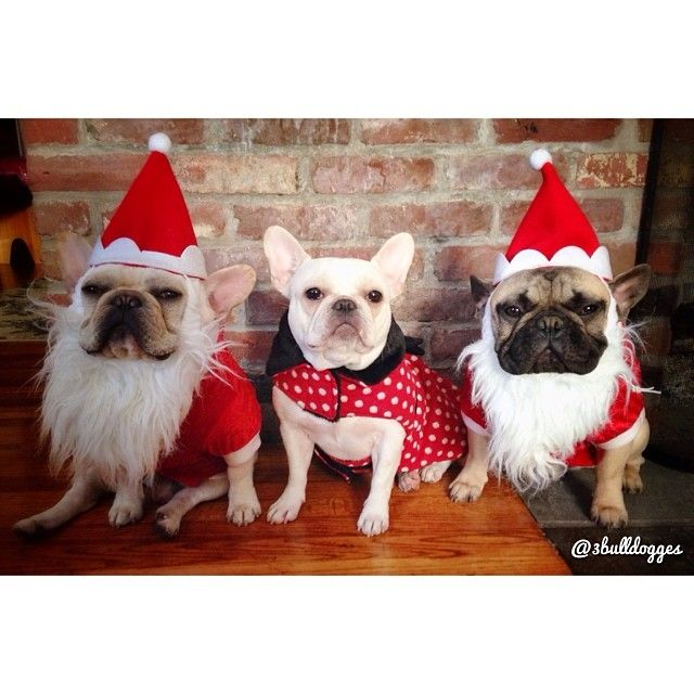Ho Ho Ho 3 French Bulldogs In Christmas Costumes