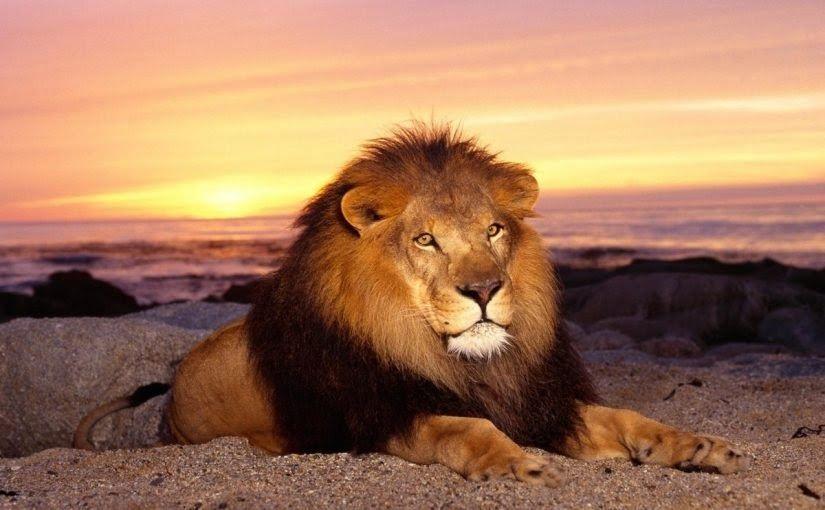 نقدم اليوم تفسير رؤية الاسود في المنام حيث إن الأسد هو ملك الغابة وأقوى الحيوانات فيتعجب البعض من الحلم بأسد خاصة إنه ليس يراه الإنسان In 2020 Lion Animals Lion Story