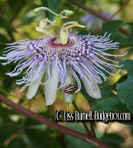 Passionflower Stress Reliever Tips N Tricks How To Relieve Stress Natural Stress Relievers Natural Remedies For Stress