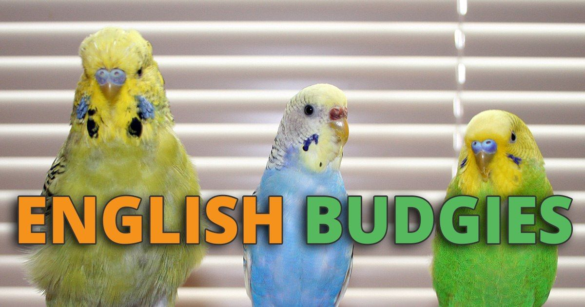 English Budgie Care Guide Size, Personality, Lifespan and