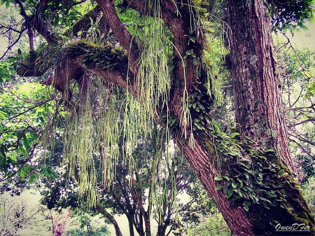 Variedad de epifitas, musgos y líquenes en un sólo árbol