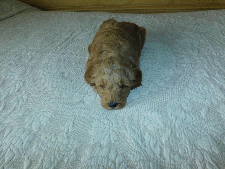 Oscar Male Mini Goldendoodle Puppy For Sale In Reading Mi Mini