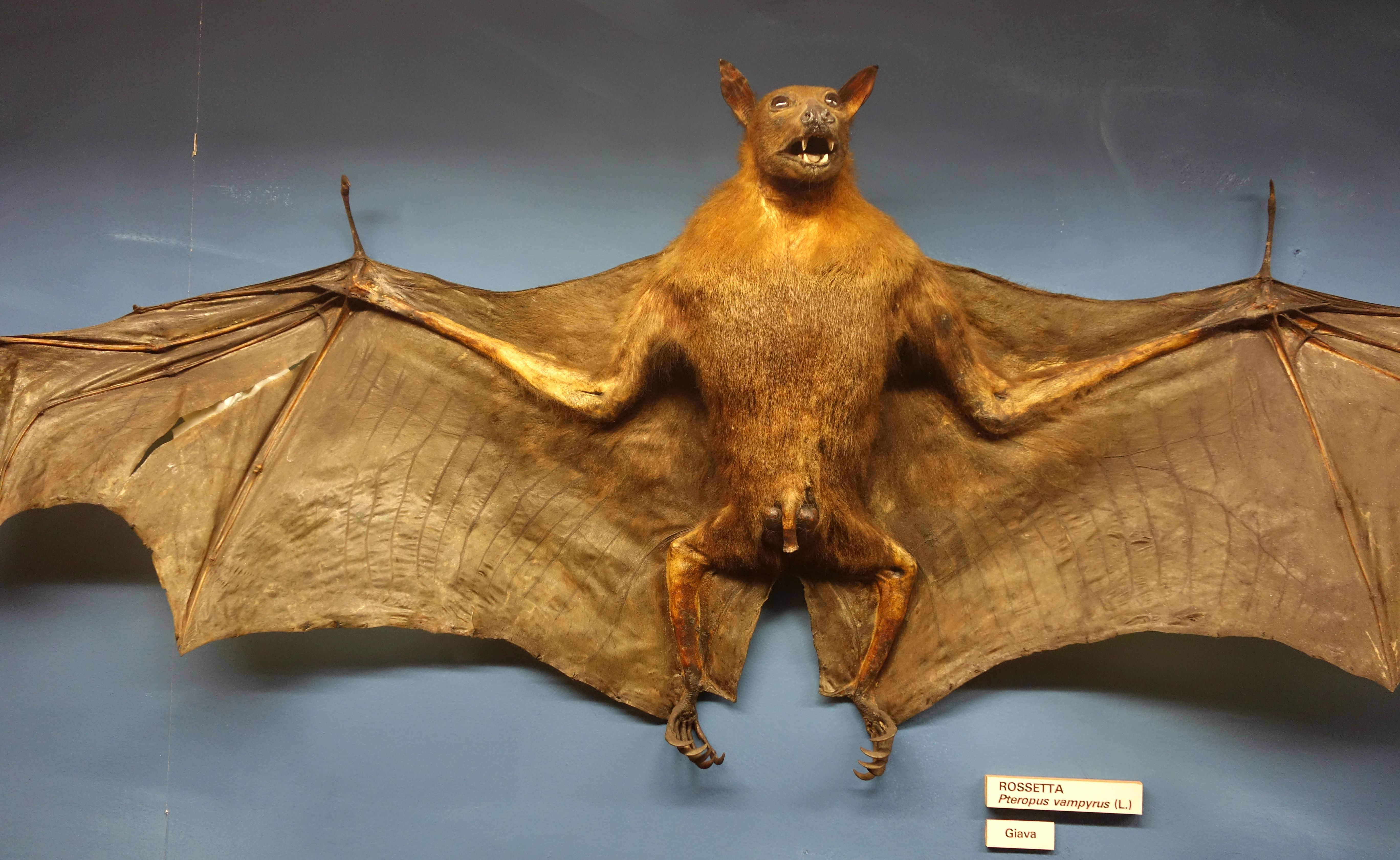 The large flying fox (Pteropus vampyrus), also known as ...