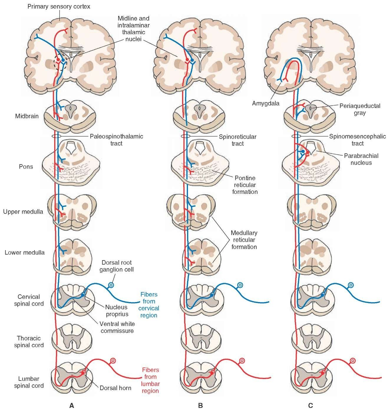 Indirect spinothalamic pathways. | Physiology | Pinterest | Pain d ...