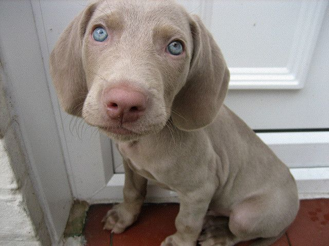 Blue Eyes Paws Weimaraner Puppies Dogs Weimaraner