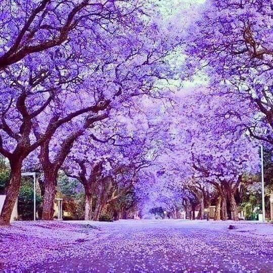 Jacarandas flowering in Adelaide South Australia. Purple