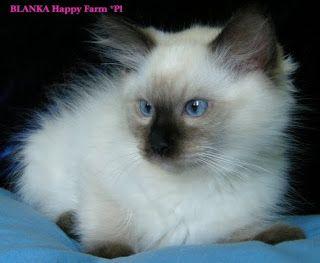 Nasze Kocieta Animals Cats Ragdoll