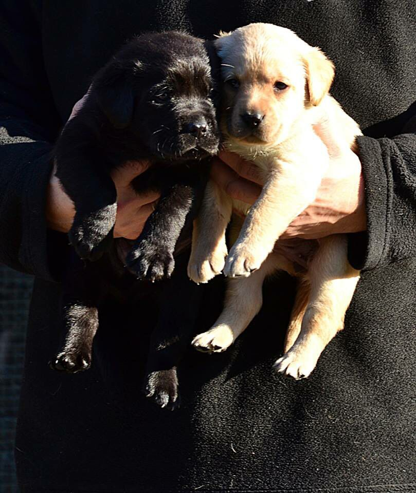 Looking Like Yin And Yang Little Labrador Puppies Hunde Welpen Rassehunde