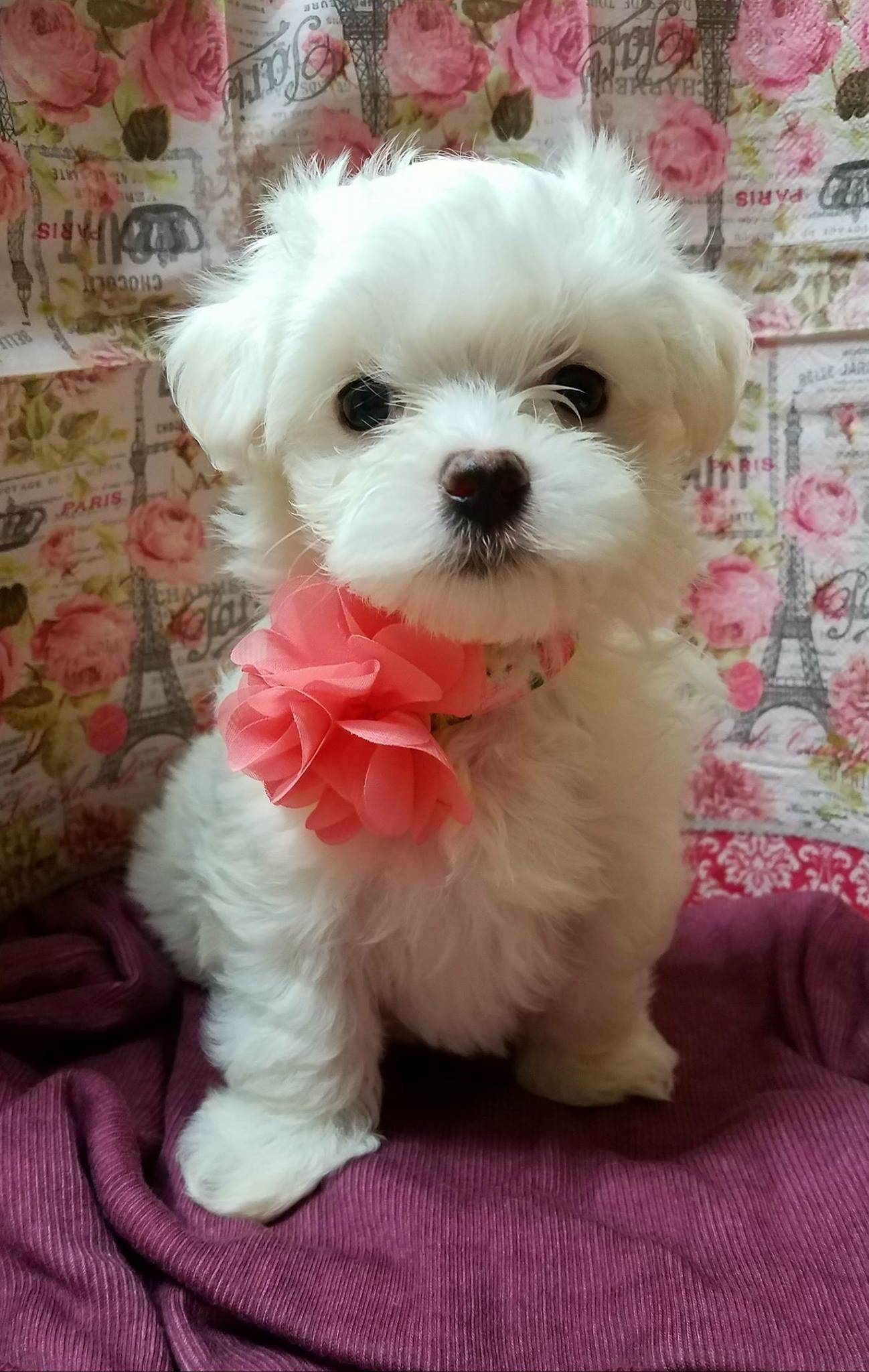 Pin By Starlingale Shelton On Maltese Teacup Puppies Maltese